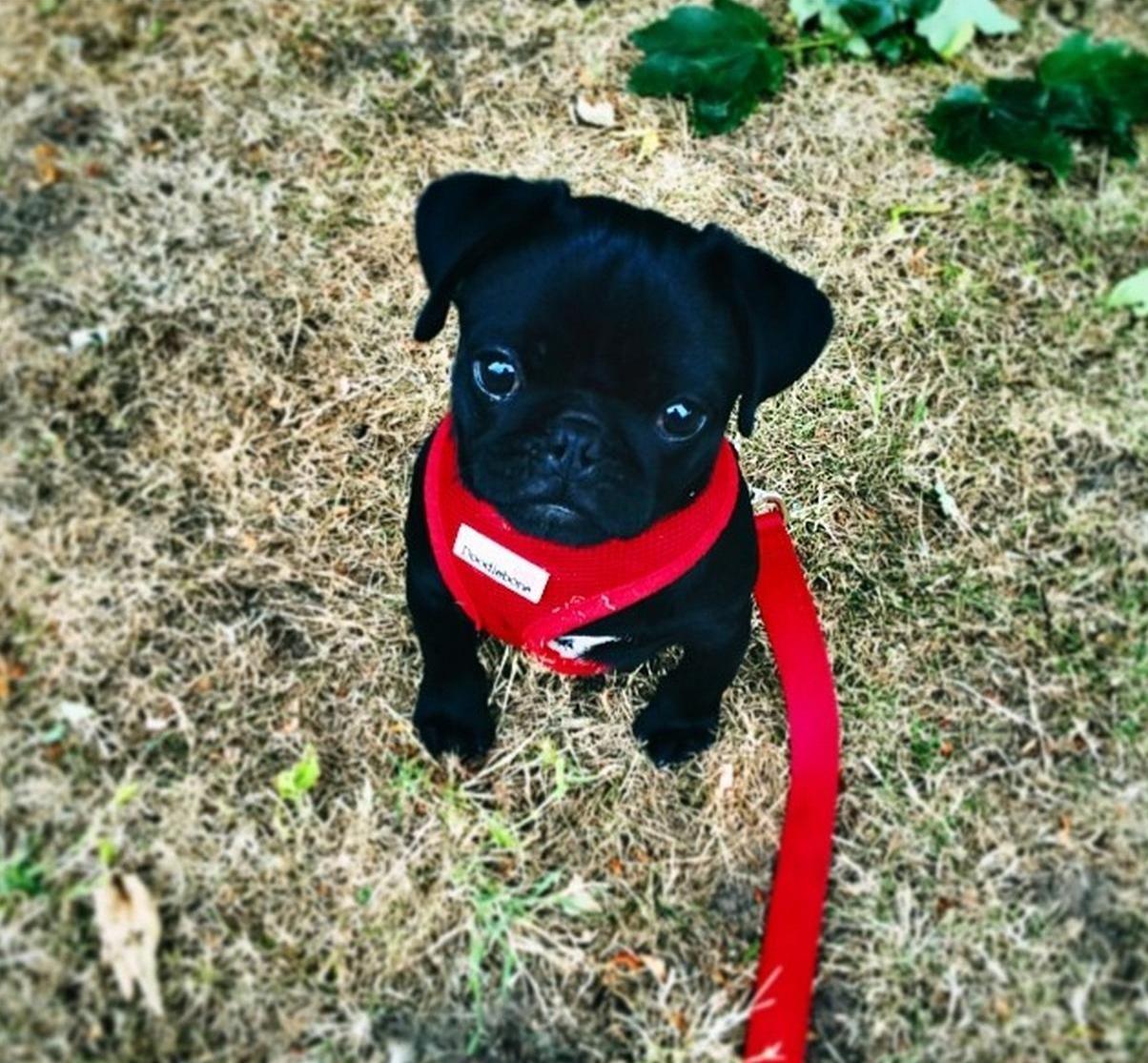 Little Pablo The Cutest Pug In The World Cute Pugs Pugs Cute