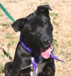 Radar is an adoptable Black Labrador Retriever Dog in Batesville, AR. Hi there! My name is Radar, and I was given up by my owner because they have a baby... BUT.... I am a very sweet young thing, just...
