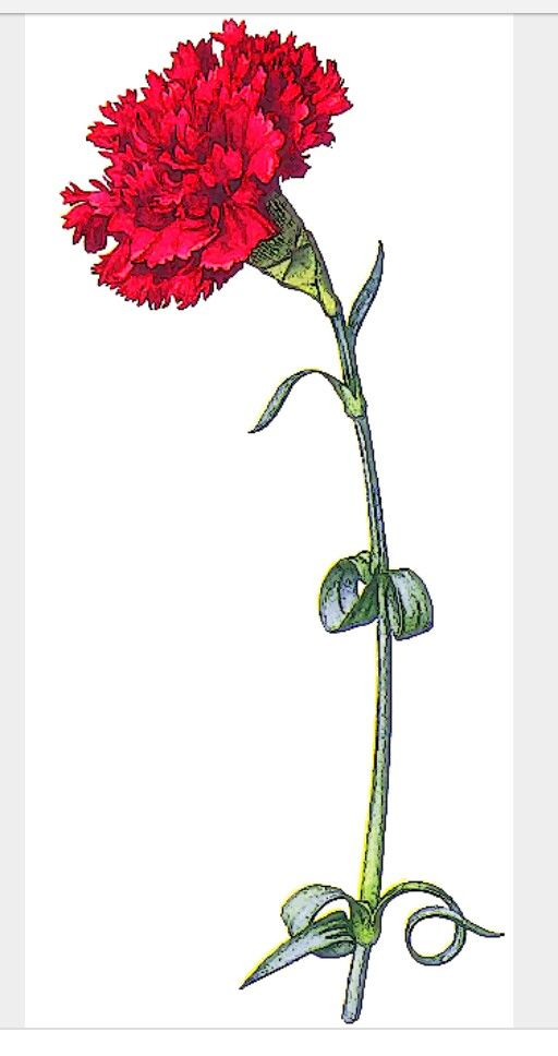 Carnation January Birth Month Flower Carnation Drawing Flower