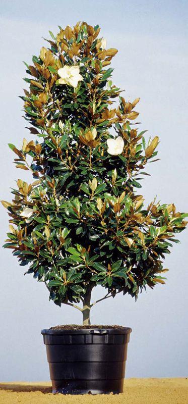 Little Gem Magnolia Potted Garden Inspiration Magnolia