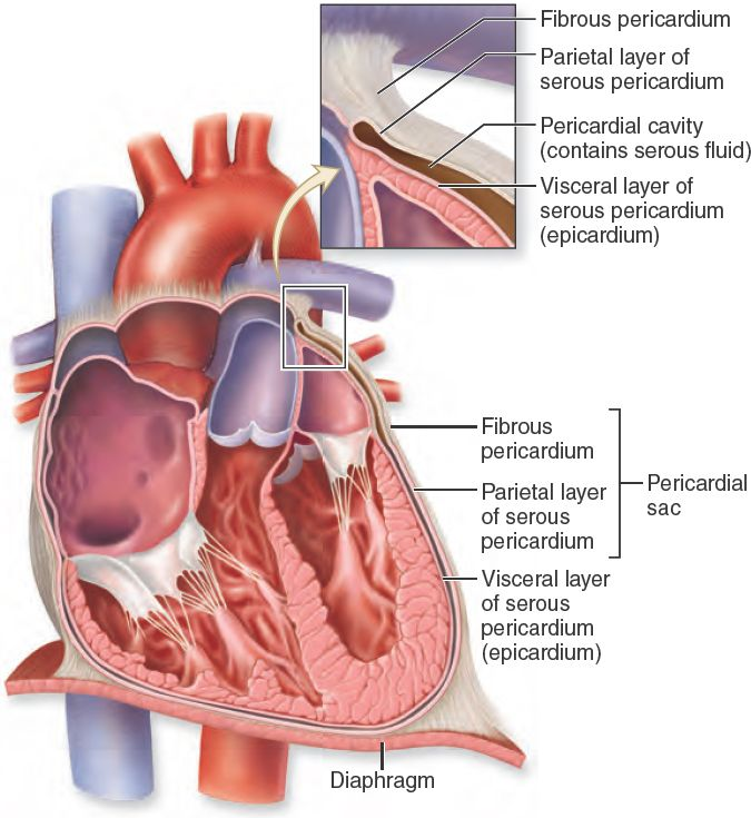 19.6 Pericardium. The protective layers of the heart include the ...