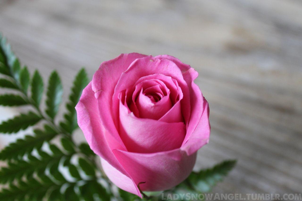 One Light Pink Rose Photography Ladysnowangel Tumblr Com Times