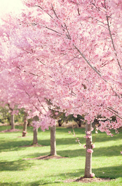 Pin By Amanda Smith On Spring Spring Landscaping Blossom Trees Flowering Trees