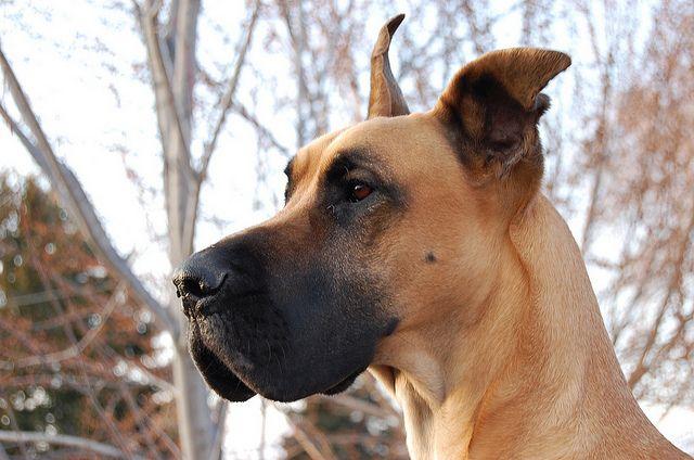 Fawn Great Dane Great Dane Fawn Dumb Dogs Mantle Great Dane