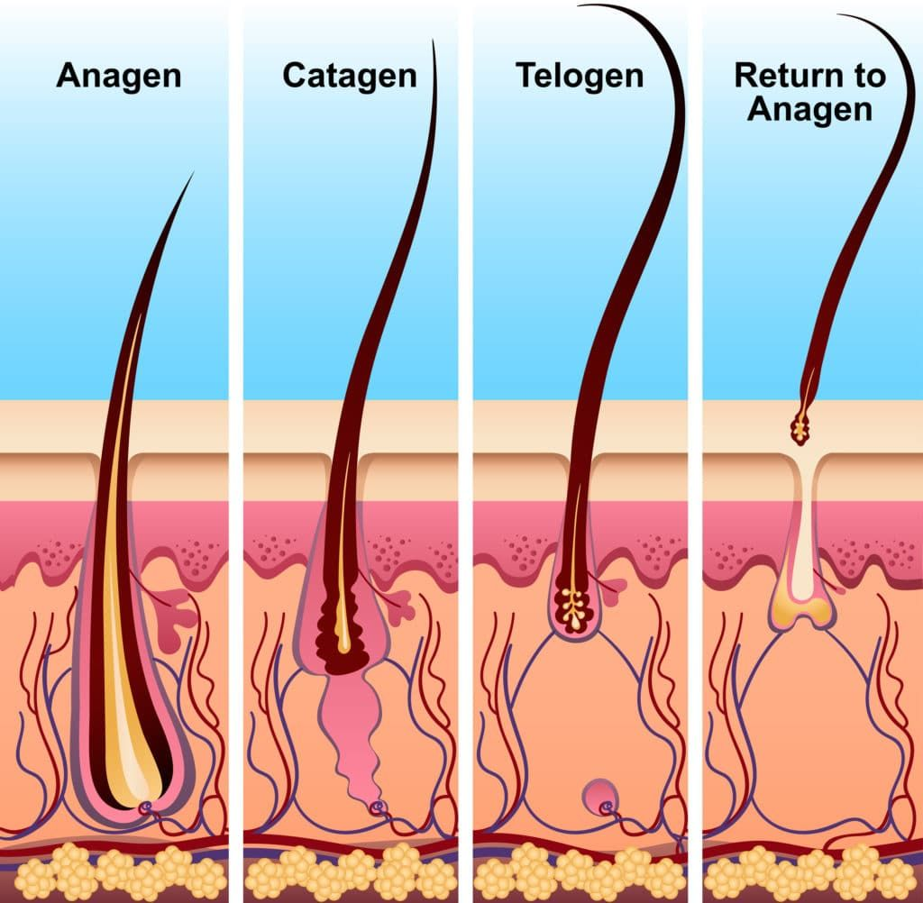 The Hair Growth Cycle: Stages and What it Means for You - Kiierr