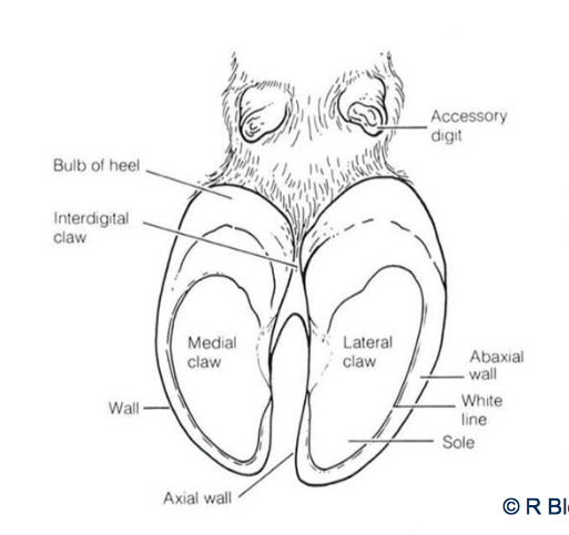 This post is of a cows hoof anatomy. I like this one because a lot ...