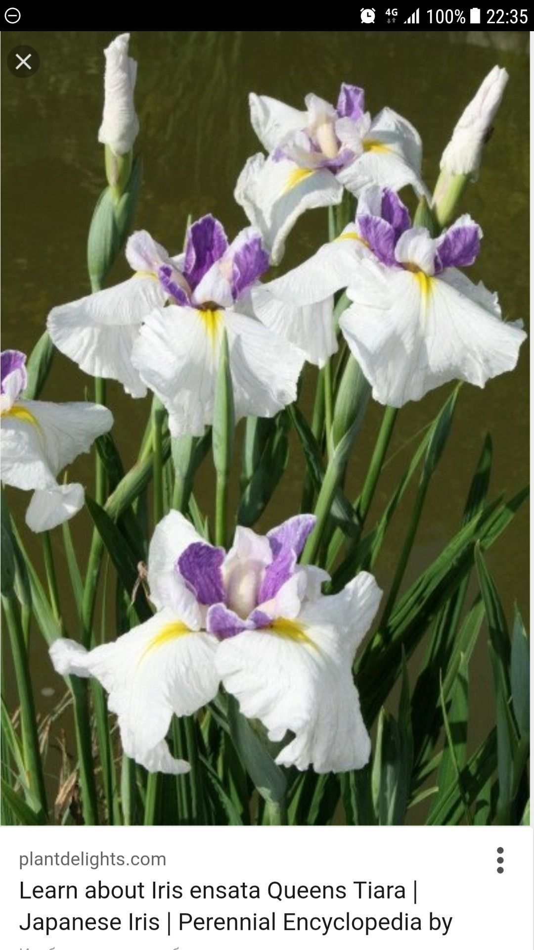 Pin by glenda gatchalian on to paint pinterest iris gladioli irises for sale buy iris ensata queens tiara izmirmasajfo