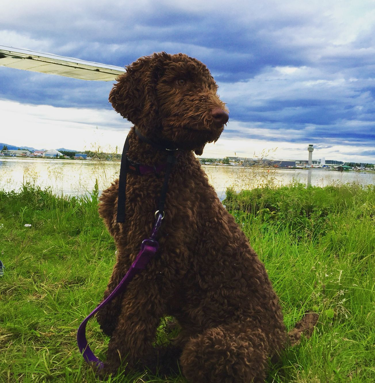 Pin On Brown Standard Poodle