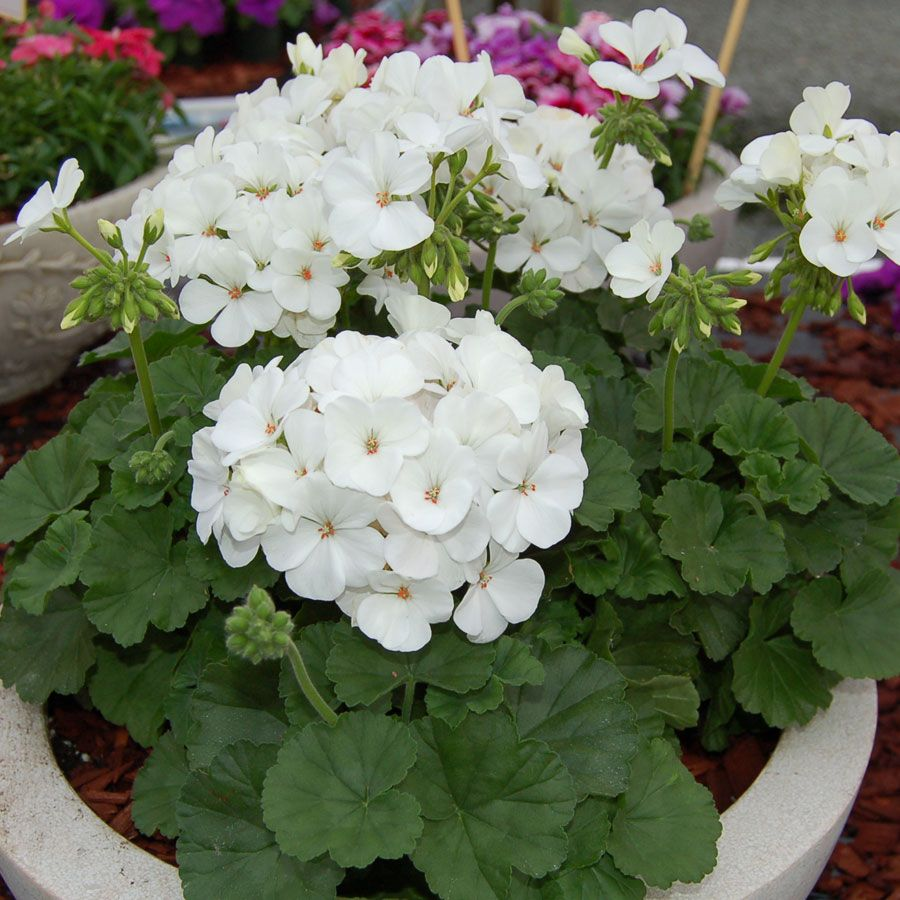Geranium nano white seeds from park seed flowers pinterest flowers izmirmasajfo Images