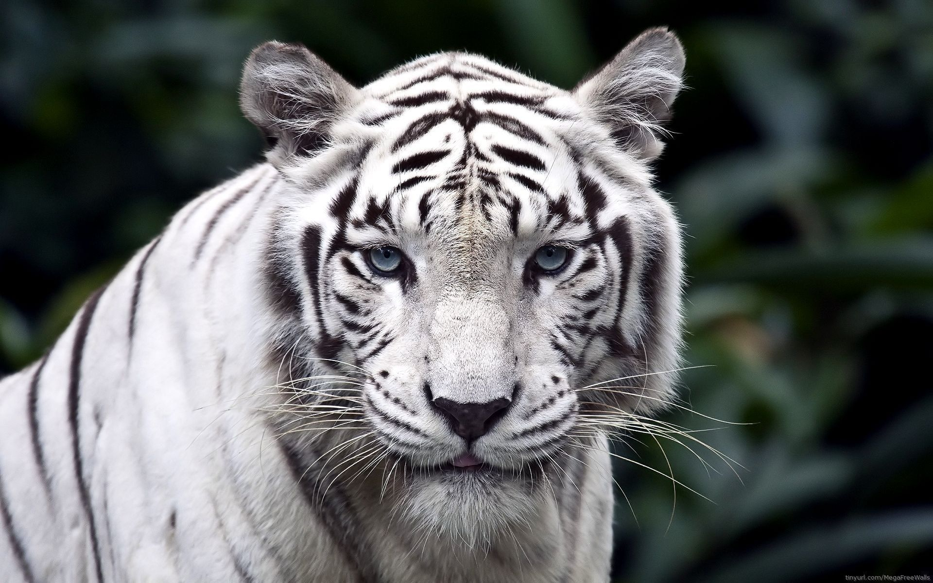 Roaring White Tiger HD Wallpapers | HD Wallpapers