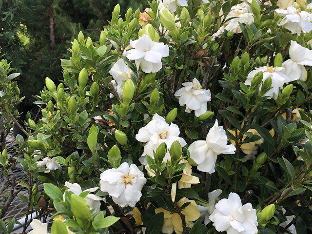 How And When To Prune Gardenias Hunker Gardenia Trees Gardenia Shrub Gardenia Plant