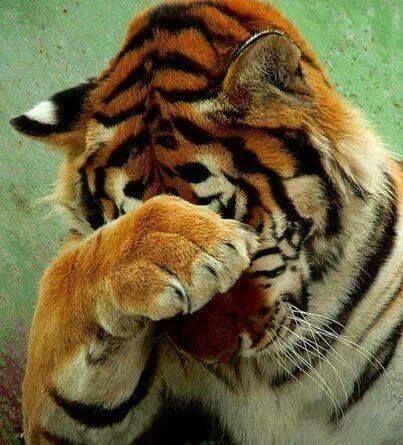 Chega De Fotos Rs Animais Selvagens Grandes Felinos E