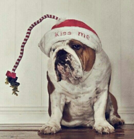 Cute Christmas Bulldog
