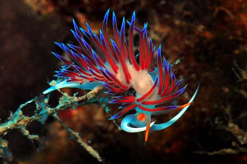Nudibranchia, Saltwater Aquarium, Invertebrate