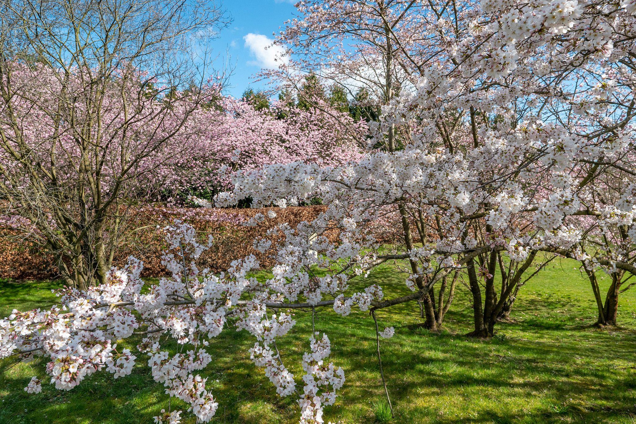 Berlin Garten Der Welt Bluhende Kirschbaume Auf Einer Wiese Neben Dem Japanischen Garten Berlin Gardens Of The World Flowering Cherry Trees On The Green N Flowering Cherry Tree Gardens Of