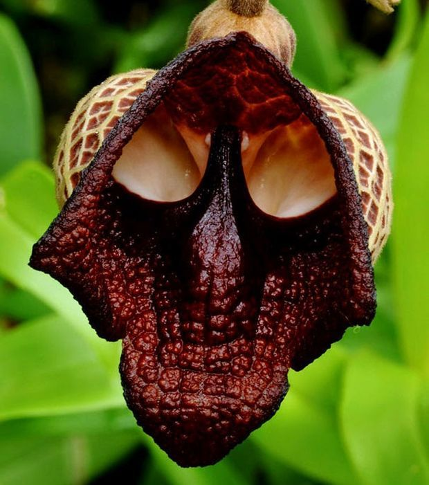 With dark colors, the flower Aristolochia salvadorensis remember the face of the famous character of Darth Vader.