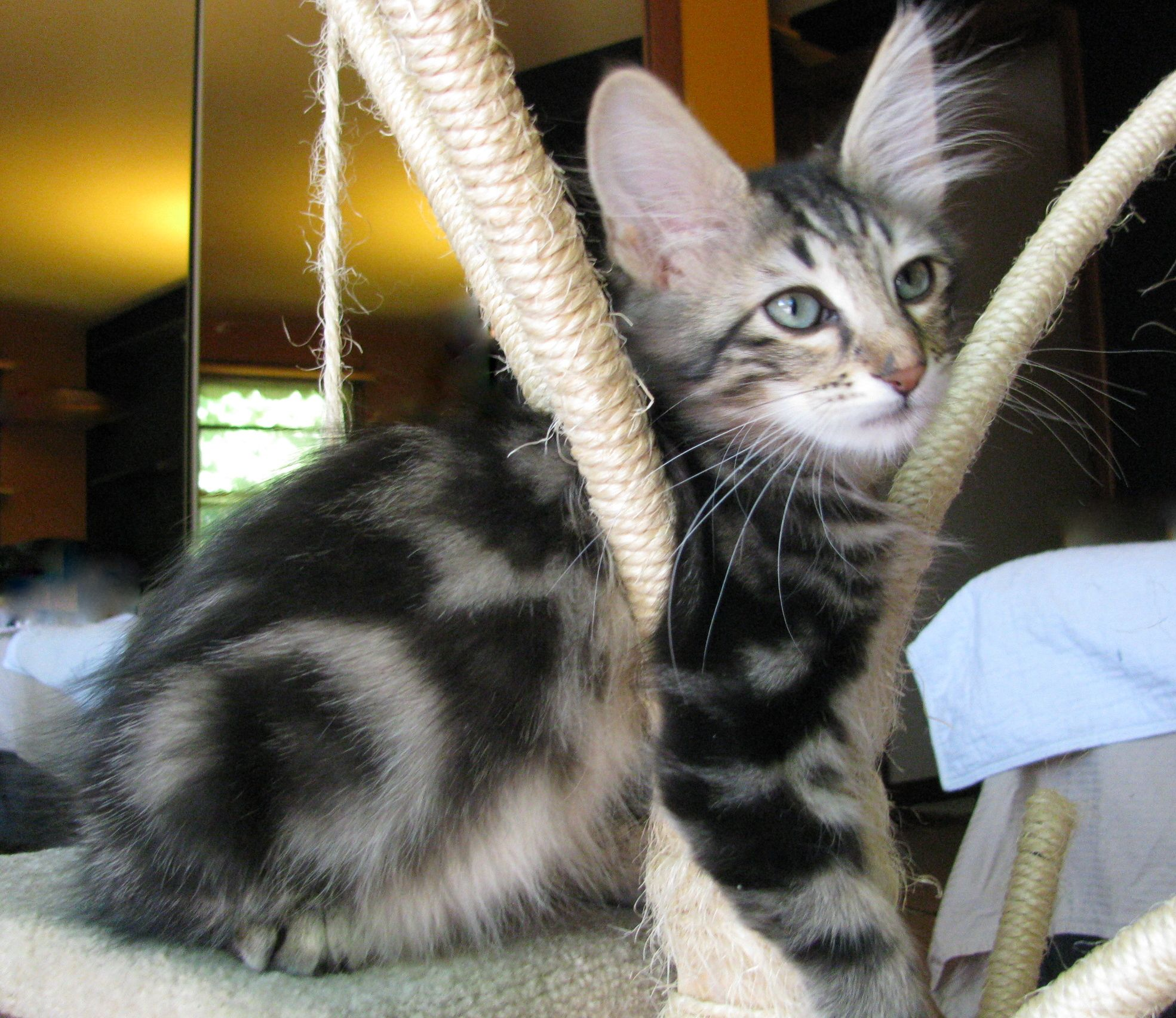 A brown classic tabby Turkish Angora, about 7 weeks old ...