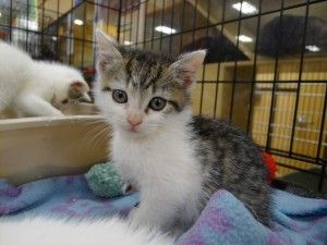 I Found Snowbunny On Petfinder White Kittens Cats Kitten