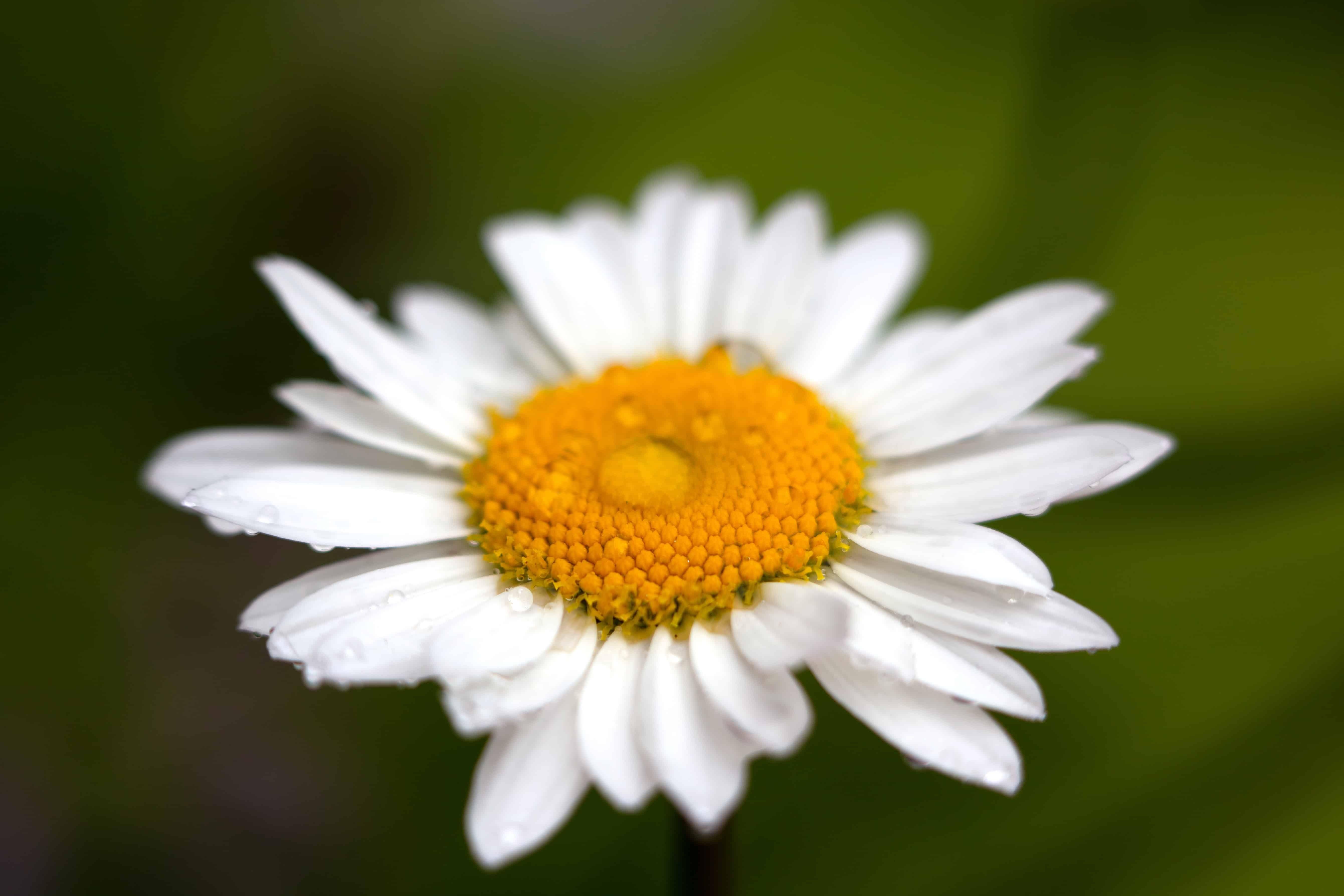 Gambar Bunga Daisy Putih Sebuah Bunga Daisy Terdiri Dari Kelopak Putih Dan Pusat Kuning Meskipun Bunga Kadang Kadang Dapat Me Gambar Bunga Bunga Daisy Bunga