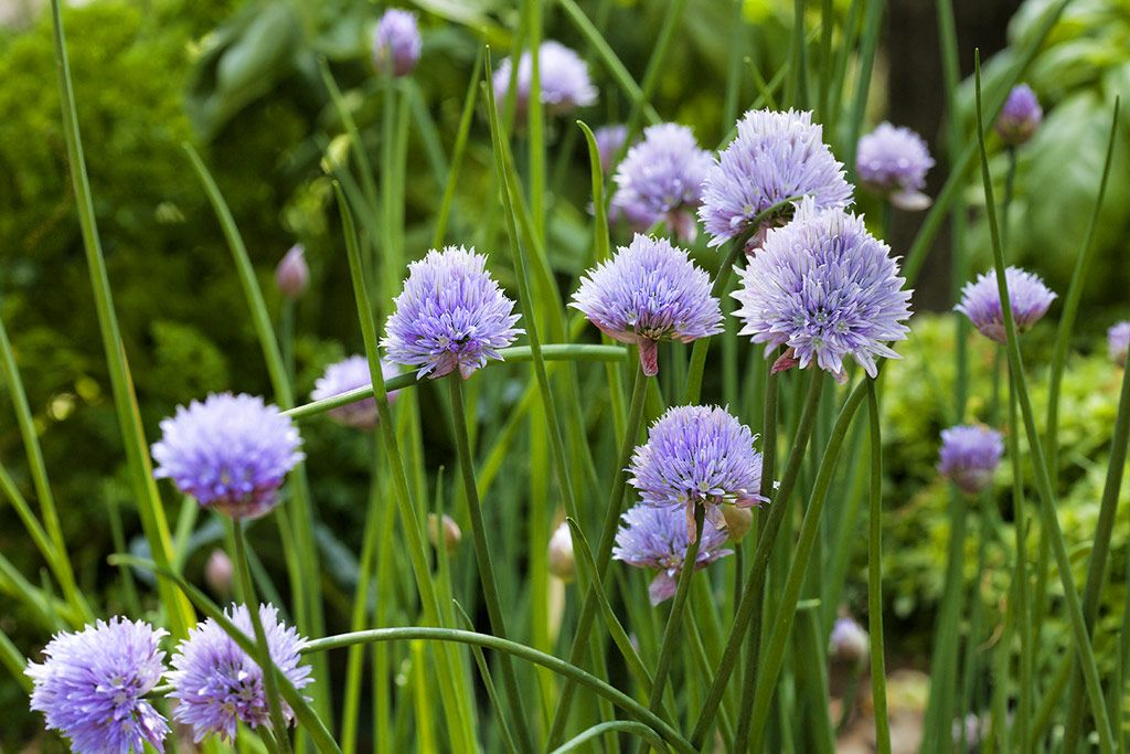 Growing Onion Chives With Blooms In Garden Growing Onions Growing Chives Plants