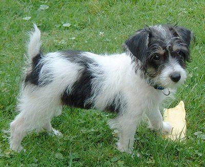 Jackapoo Adorable Nonshedding Jack Russell Terrier