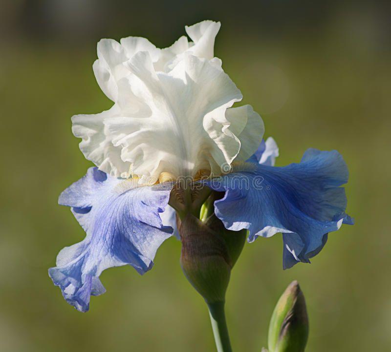 Iris Blue And White Iris With Bud On A Green Background Affiliate White Blue Iris Iris Bac Iris Flowers Iris Flower Photos Green Grass Background