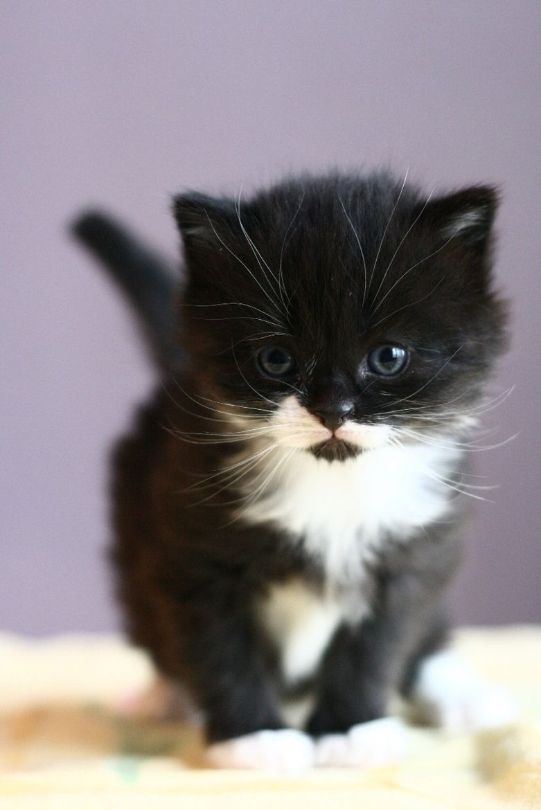 Adorable Black And White Kitten For My Little Man He Loves Cats