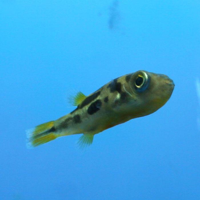 4 Malabar Dwarf Puffer Carinotetraodon Travancoricus Freshwater Species But Will Tolerate Very Dilute Aquarium Fish For Sale Freshwater Fish Puffer Fish
