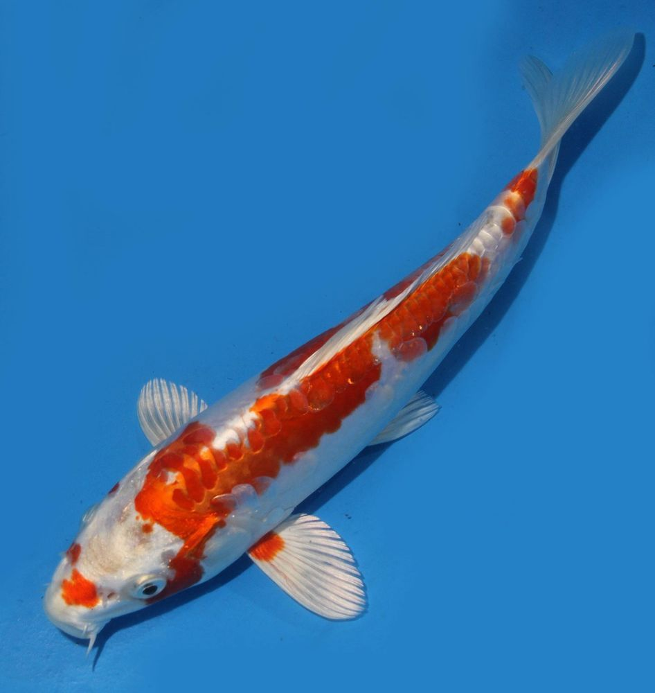 Live koi fish 9 doitsu yellow yamabuki hariwake koibay koi for Yamabuki koi fish