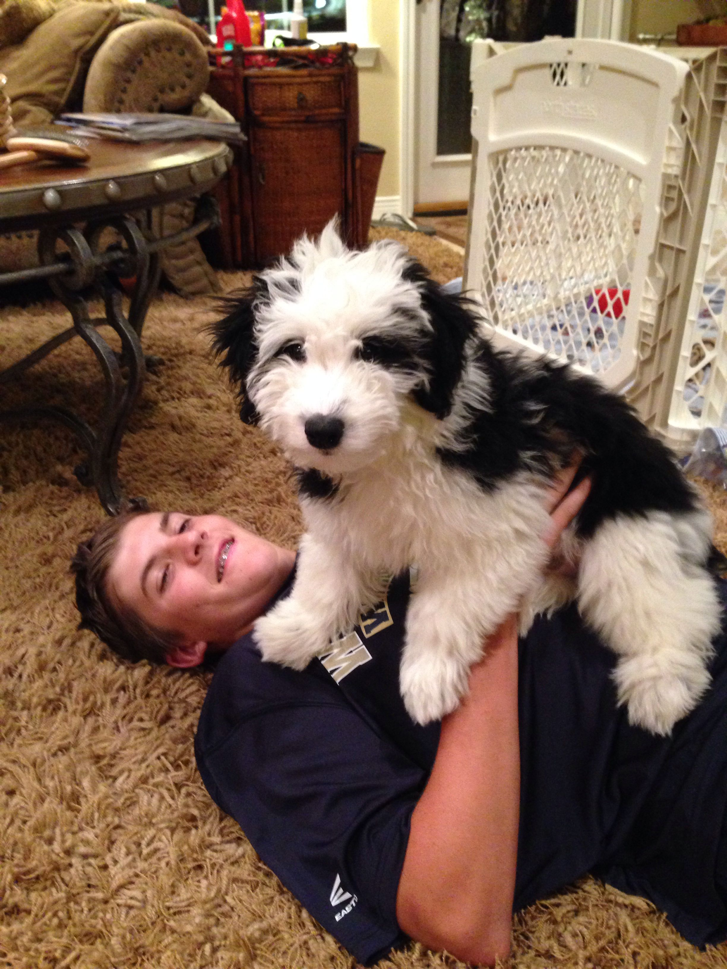 Lovin My Boy Sheepadoodle Dog Friends Spoiled Pets