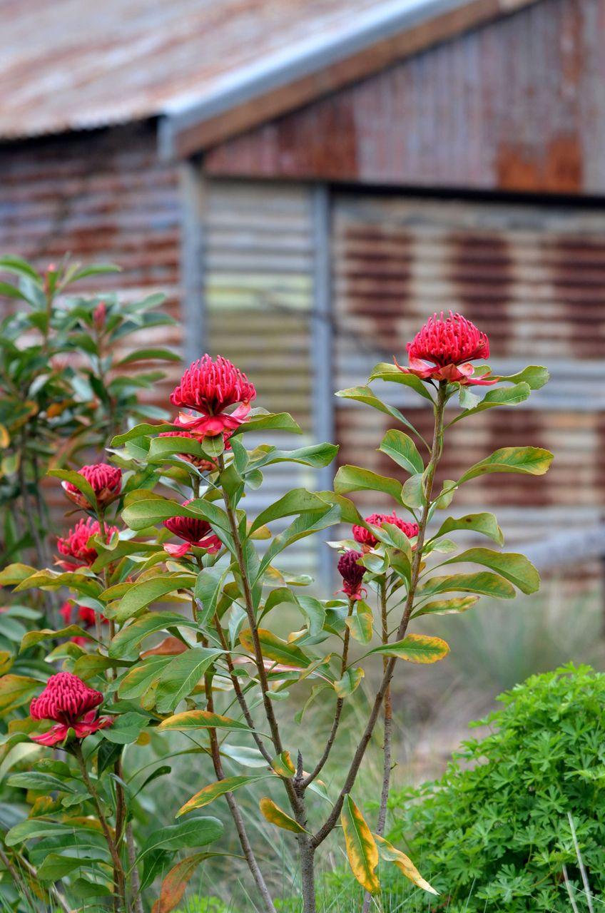 Waratah must read tips on planting!!! Garden plants