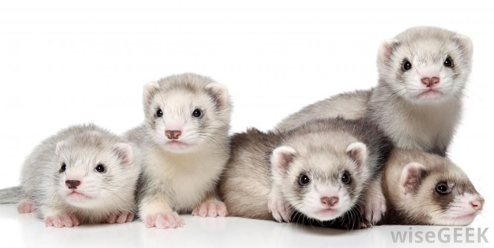 Which Animal Makes A Good Class Pet With Pictures Class Pet Cute Ferrets Ferret
