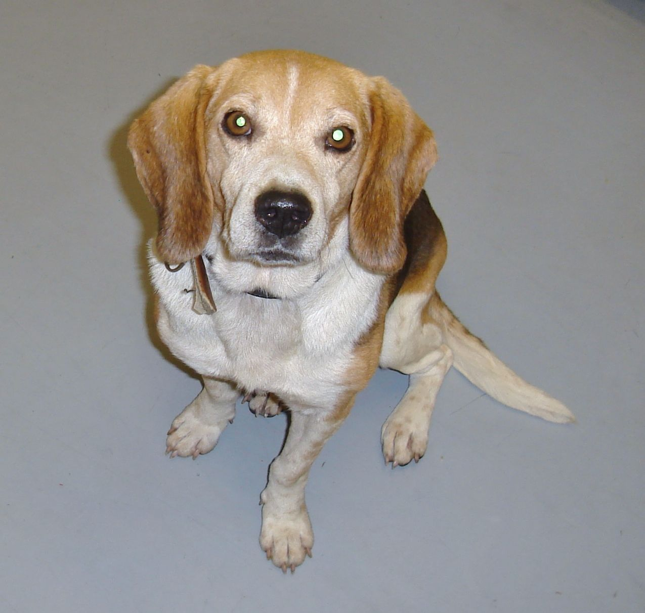 Super Urgent Please Save Me Eu Date 7 22 2014 Zeke Breed Beagle Age Senior Gender Male Size Shelter Infor Dog Id Dog Adoption Dogs