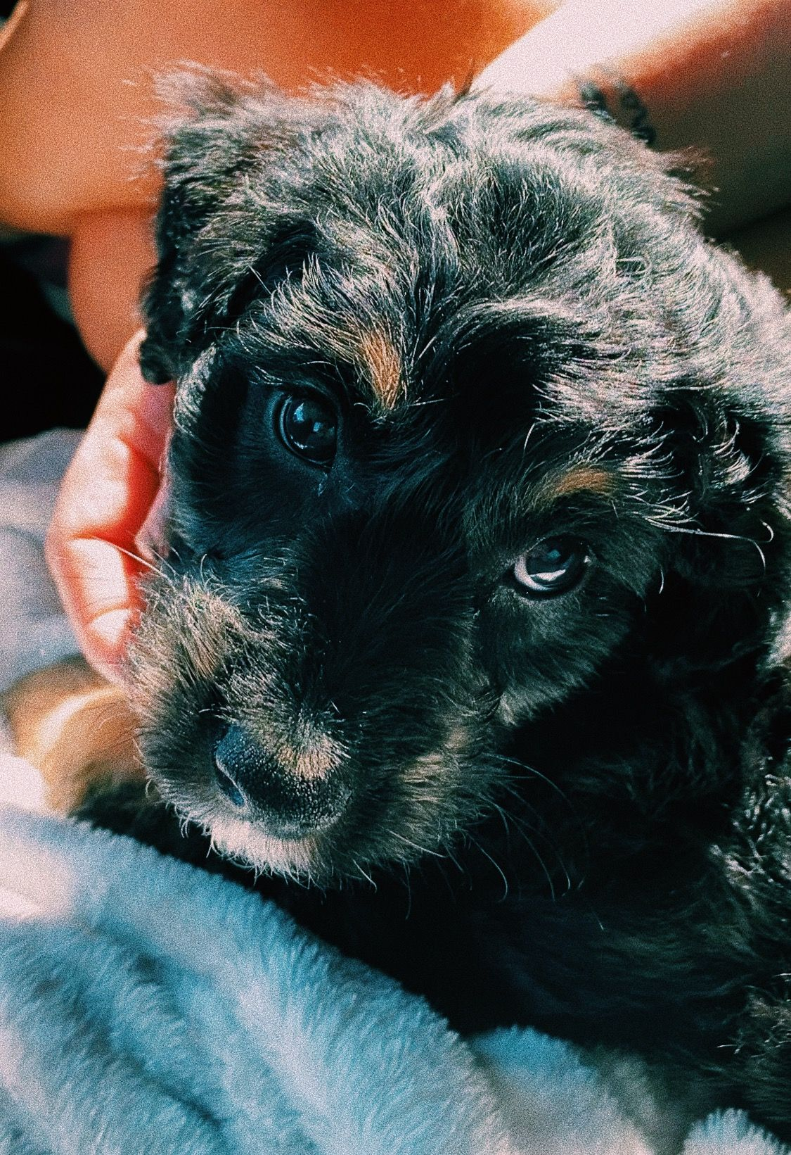 #puppy #vsco #aesthetic #cute #cutie #baby #dog #aussiedoodle #doodle #poodle #australianshepard #photography #picture #love #happy #vibes #filter #2020 #summer #spring #fall #winter #autumn