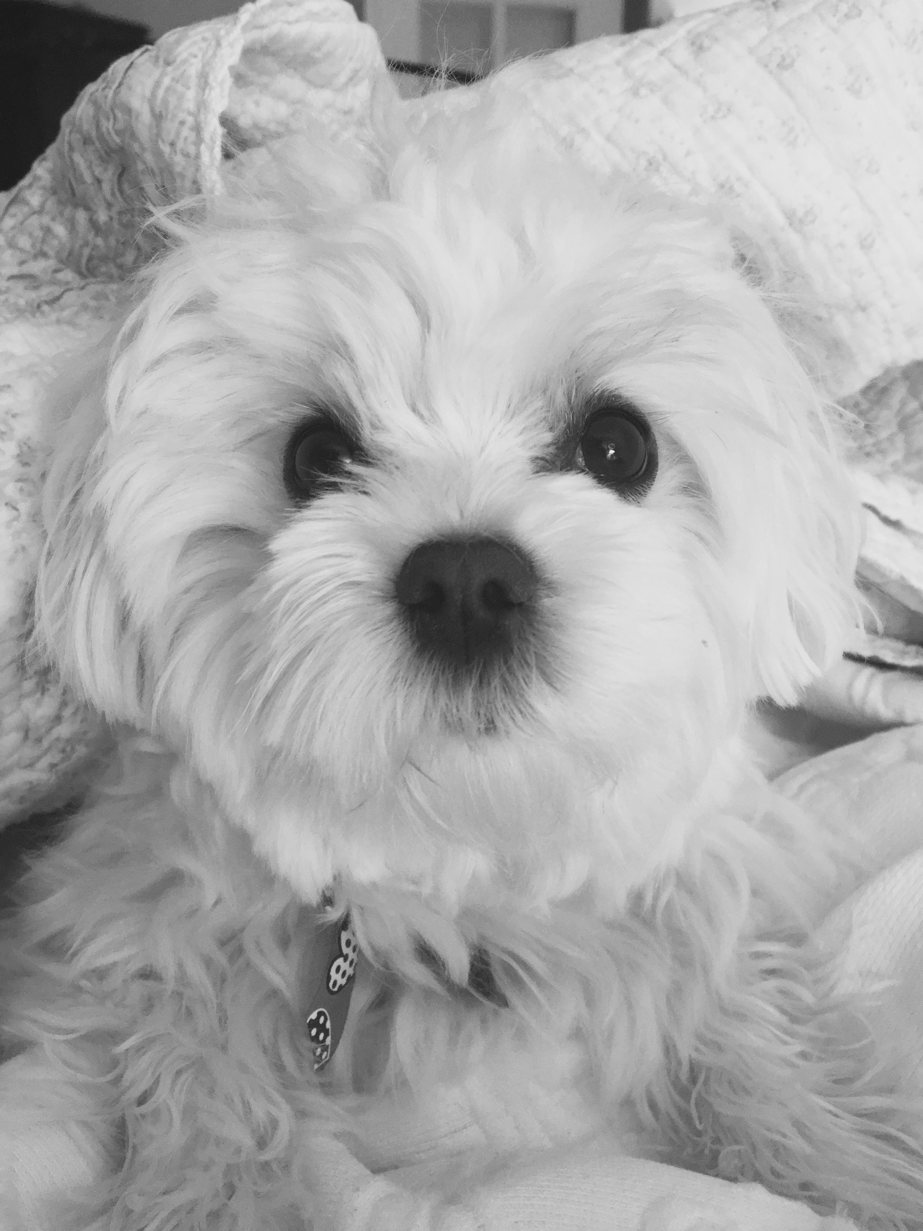 Mabel Our Malshi Puppy Puppies Shih Tzu Puppy Shih Tzu