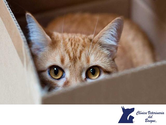 El estrés en gatos. CLÍNICA VETERINARIA DEL BOSQUE. Un gato expuesto a ciertos estímulos o que no ve atendidas sus necesidades, puede padecer estrés. Las son diversas, comúnmente está relacionado con enfermedades, miedo o un cambio en la rutina de la casa, producido por la llegada de un nuevo niño u otra mascota. También puede sufrir estrés por la muerte de su dueño. En Clínica Veterinaria del Bosque, nuestros etólogos pueden cuidar la salud mental de tu mascota. www.veterinariadelbosque.com…