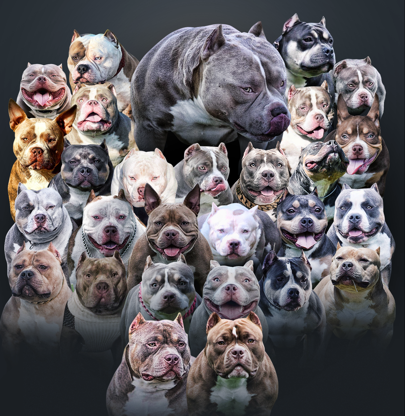 American Bully Legend Louis V Line S Venom Retires Sons