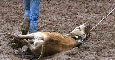 R12noticias.com: Justiça proíbe vaquejada e prova do laço em Barret...