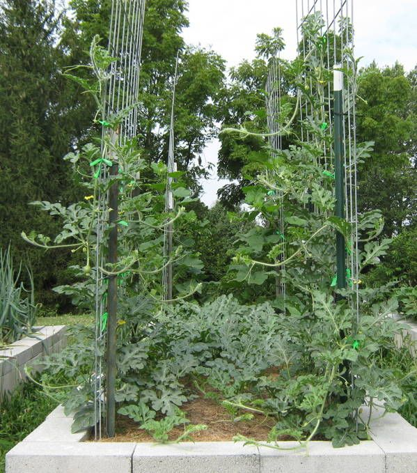 Pin By Alisha Oldham On Garden Room How To Grow Watermelon Watermelon Vines Vertical Trellis