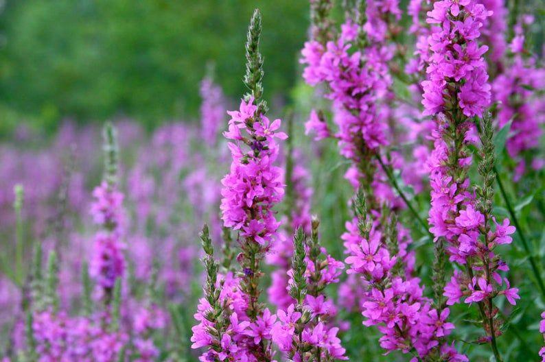 Purple Loosestrife Flower Essence Etsy In 2020 Invasive Plants Plants Common Garden Plants