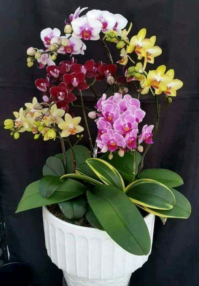 Pin by on pinterest orchid flowers and gardens indoor flowers potted flowers flowers garden indoor plants pretty flowers modern backyard orchids flower arrangement blossoms mightylinksfo