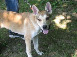 Adopt Payton Playful Pup On Pup Shepherd Dog Labrador Retriever Mix