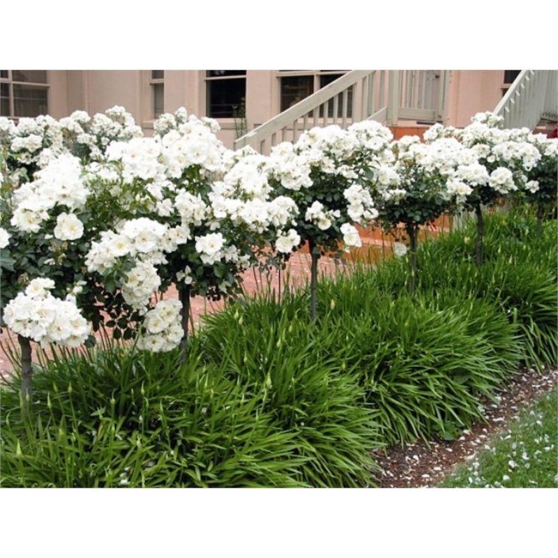 plant rose 200mm 1m standard