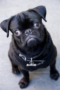 New York New York Usa Pugs Pug Love Pug Puppies