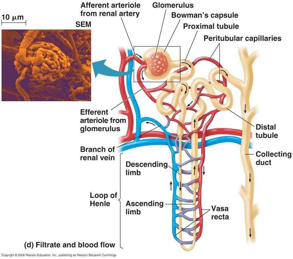 Nephron Diagram Labeled Google Search Loop Of Henle Human Anatomy And Physiology Endocrine System Nursing