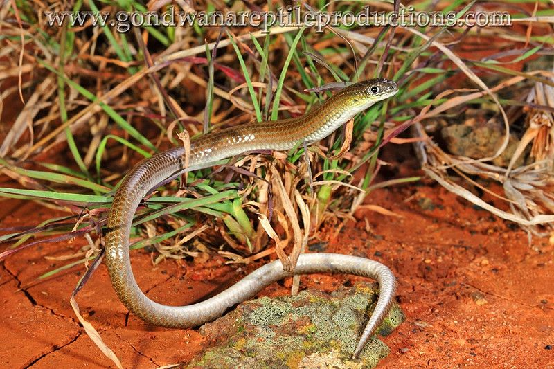striped legless lizard picture