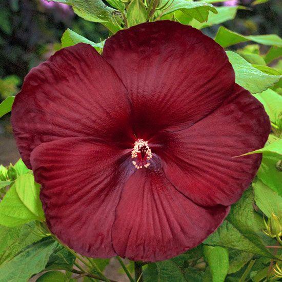 Hibiscus Varieties Pictures: Must-Grow New Varieties Of Perennials For 2013
