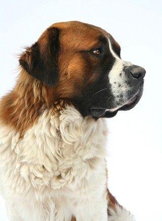 Bernhardiner Mit Bildern Bernhardiner Hund Bernhardiner Hunde