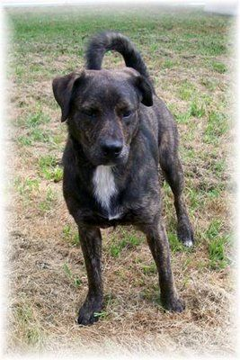 Brindle Mountain Cur related to the black mouth cur # ...
