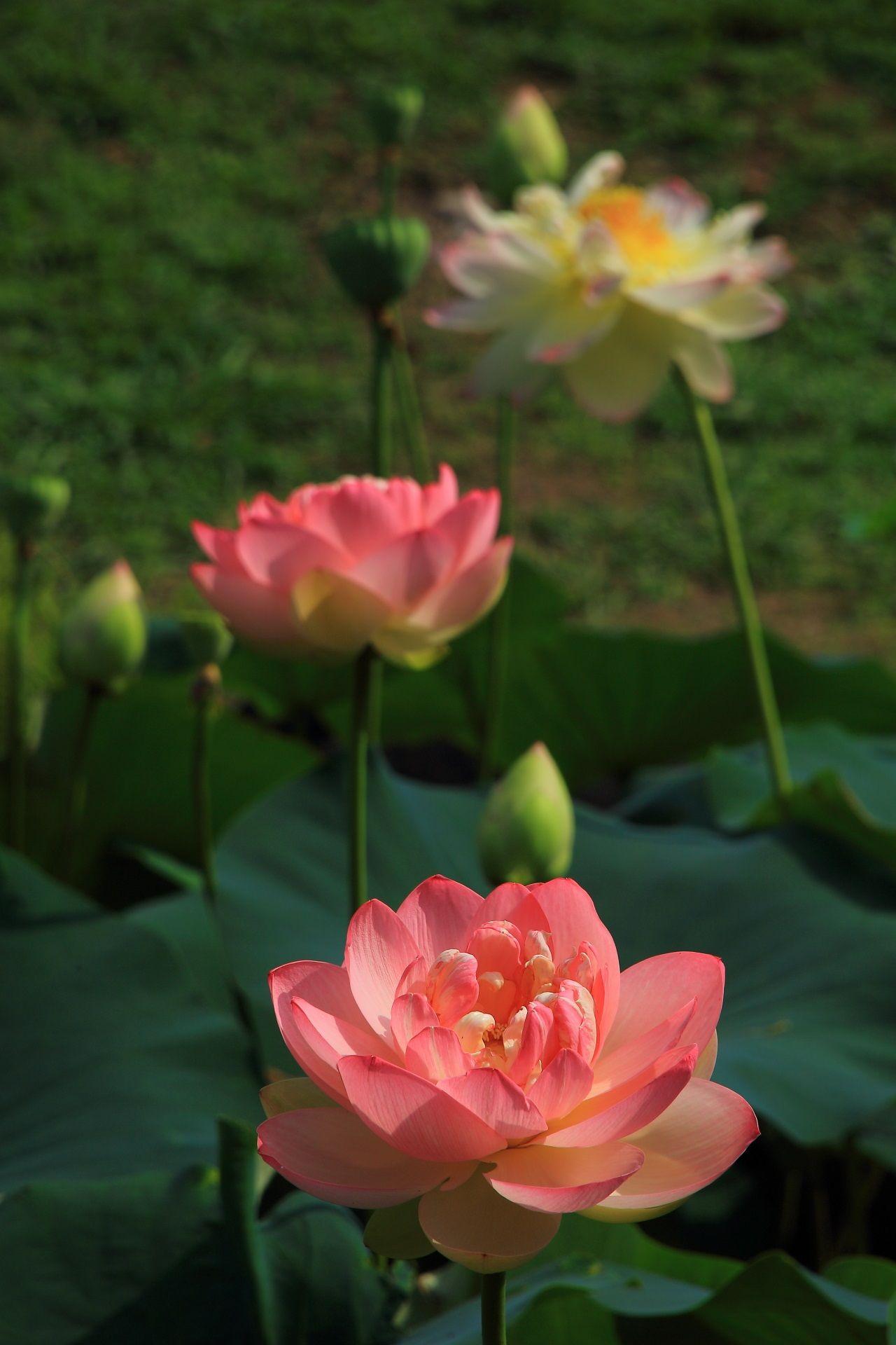 お見事なピンクのハスの花 ハスの花 蓮の花 美しい花